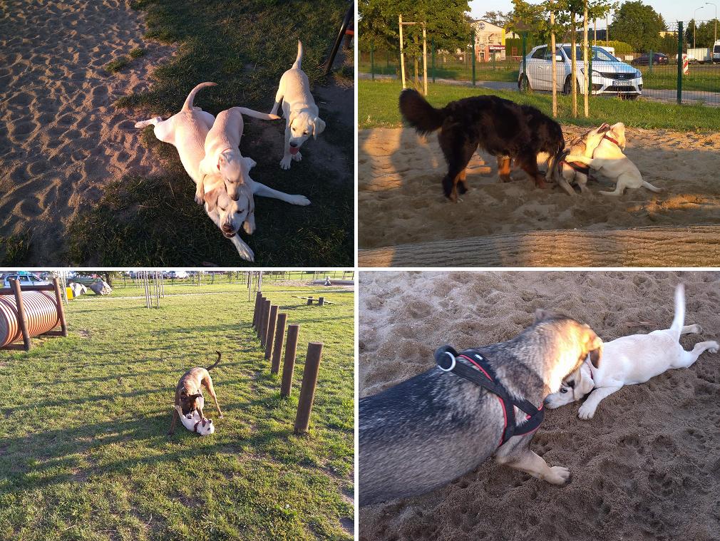 zabawa psów