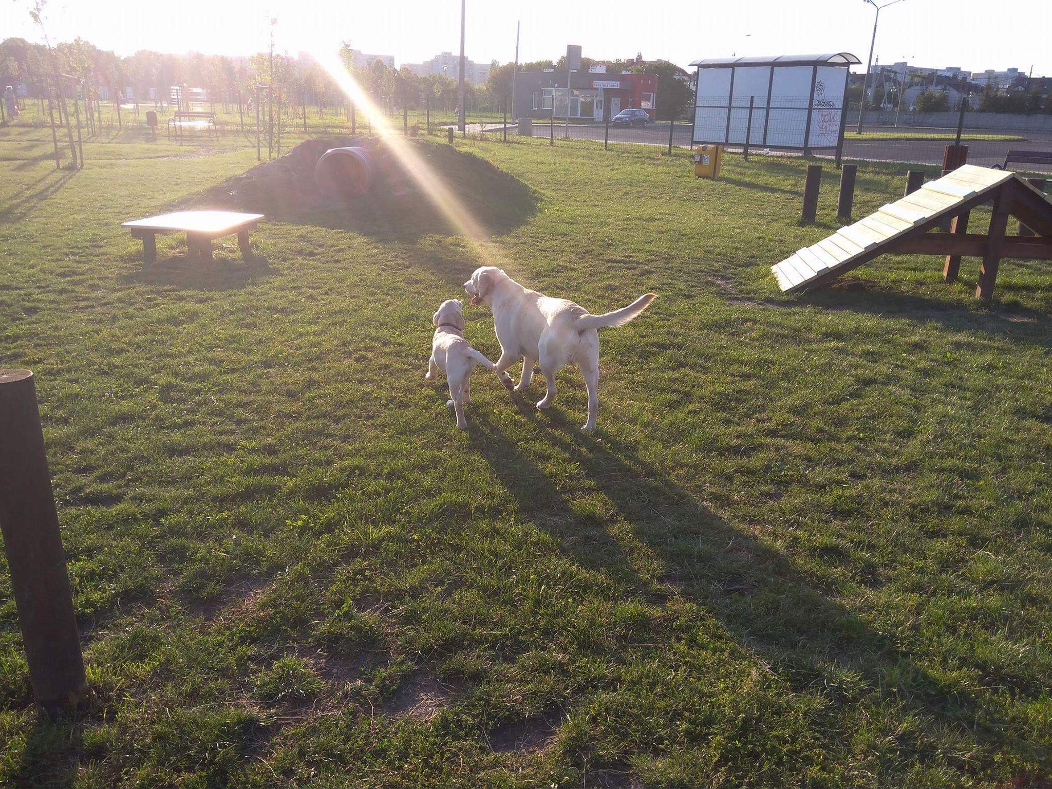 dwa labradory w psim parku idą w stronę słońca